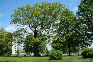 Chêne rouge - Claire Morel