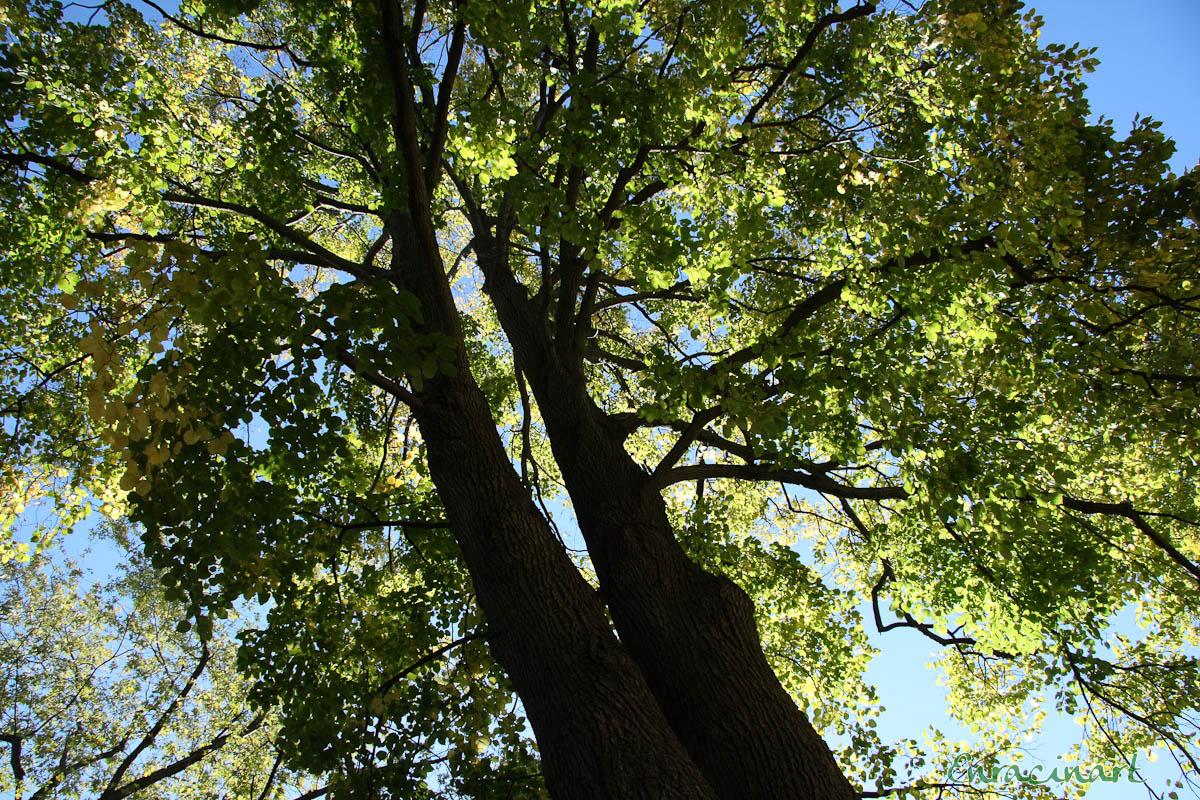 Tilleul à grandes feuilles - Claire Morel